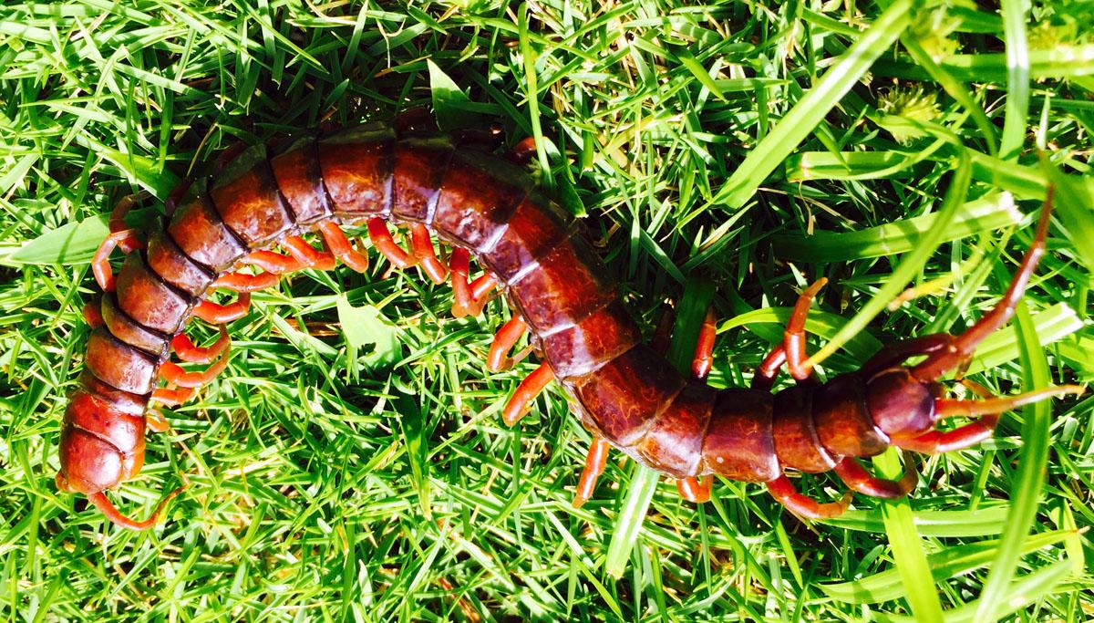 mpc Bugs Centipede1