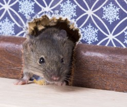 A Common house mouse (Mus musculus) looks out from a mink in the